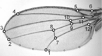 Drosophila wing with landmark and outline pseudolandmarks superinposed